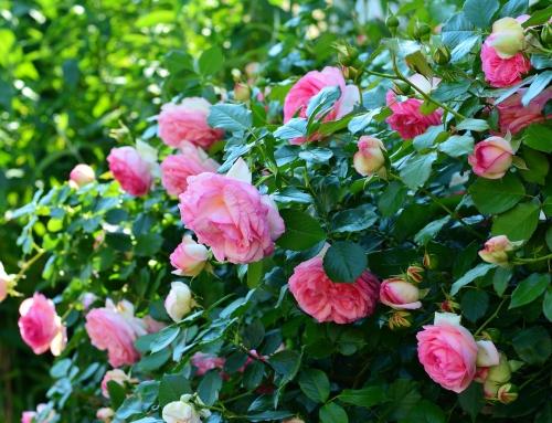 El rosal del camino